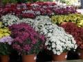 crisantemos_dendranthema_indicum1