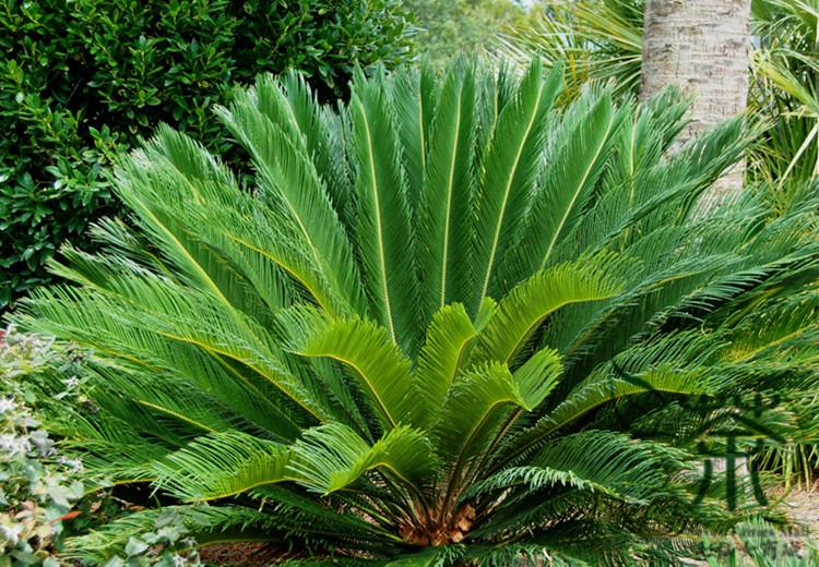 Venta de palmeras en barcelona pallej fontpineda for Centros de jardineria barcelona