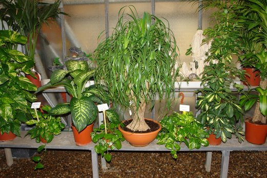 Venta de plantas de interior en barcelona dracenas for Plantas de interior artificiales