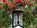 venta-rosales-trepadores-barcelona-provincia.jpg