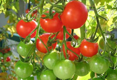 Como-plantar-tomates