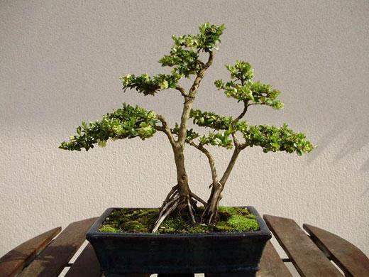 bonsai3