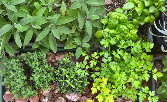 venta-plantas-aromaticas-barcelona-garden