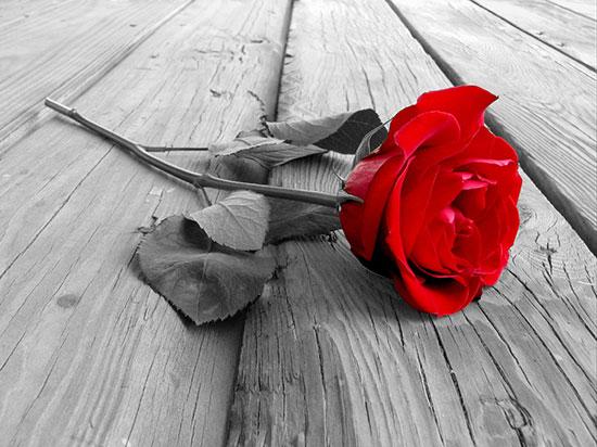 La flor más popular del mundo.