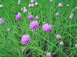 cuidados-y-usos-de-la-planta-de-cebollino