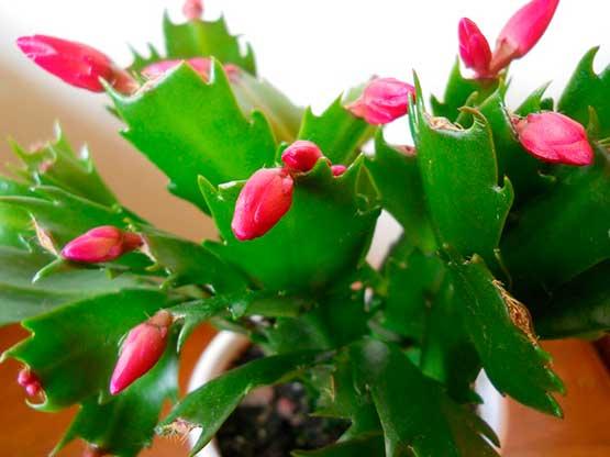 venta-cactus-de-navidad-barcelona