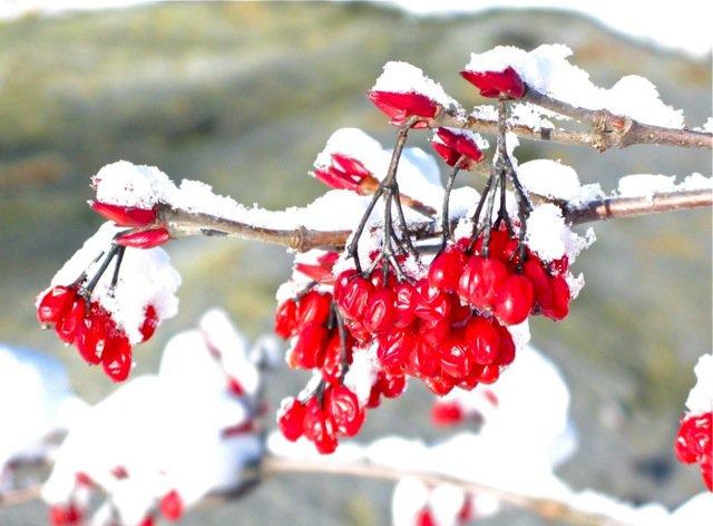 Viburnum-Setigerum-heladas