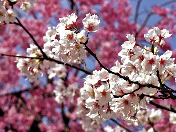almendro-en-flor