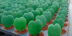 cactus-corazon