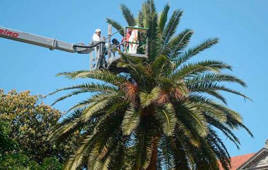 acabar-con-picudo-rojo-palmeras-barcelona