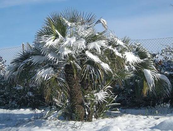 palmeras-heladas