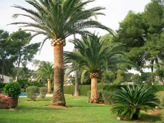 poda-palmeras