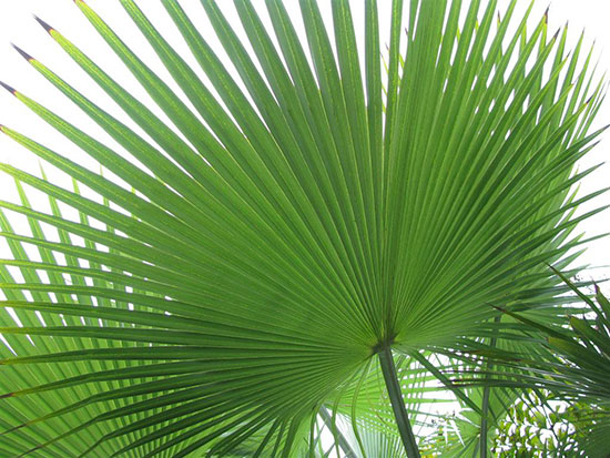 venta-palmeras-barcelona