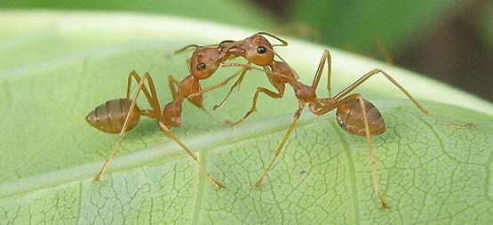 hormigas-y-plaga-pulgon