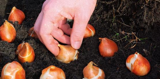 plantar-bulbos-otono