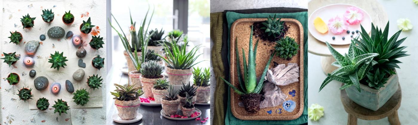 Aloe Vera: planta del mes de Agosto