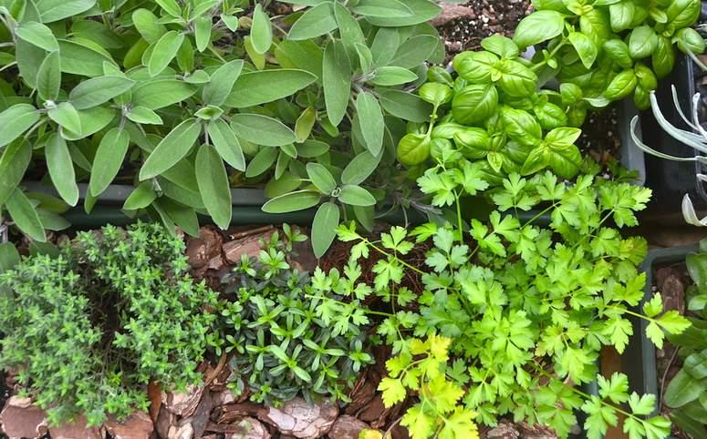 plantas-aromaticas-ideales-ninos