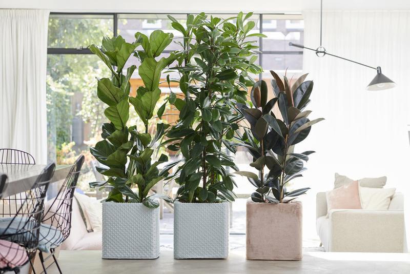 Ficus de hoja grande: planta del mes de septiembre